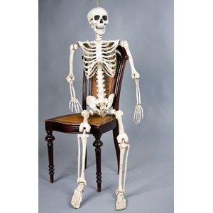 Skelett Fridolin